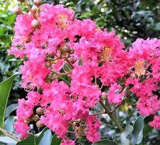 DWARF DARK PINK CREPE MYRTLE Lagerstroemia deciduous flowering plant 140mm pot