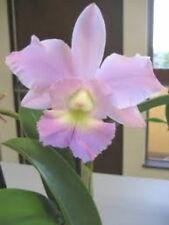 Bin) Bc Cynthia Cattleya Orchid Plant