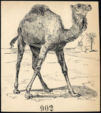 Antique Drawing-DROMEDARY-ITEM 902-Gerard Claes-1900