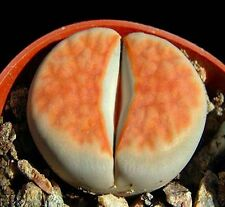 Lithops Karasmontana ORANGE ICE, rare living stones rare mesembs seed 100 SEEDS