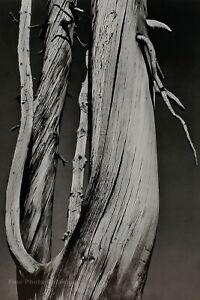 1933/72 Vintage ANSEL ADAMS Dead Wood Tree Duotone Photo Engraving Art 11X14