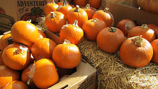 SUGAR PIE PUMPKIN SEEDS * SWEET FOR PIES * SMALL & ROUND *  7 SEEDS *