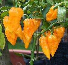 Chili @ Bhut Jolokia orange-rot @ Capsicum Chinese @sehr scharfer Chili@10 Samen