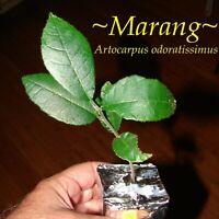 ~MARANG~ Borneo Fruit Tree Artocarpus Odoratissimus Small Potted starter Plant