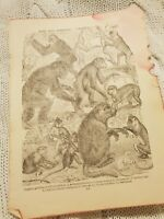 Apes and Monkeys - Antique Book Print