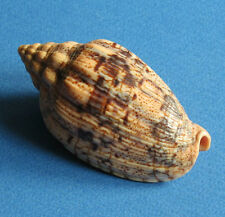 Shell Voluta demarcoi 81mm F+++ Seashell  Voluta Volute
