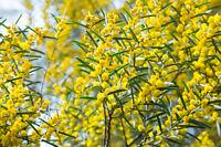 ** Exotische Samen: gelbe Akazie ist reichlich mit kleinen Blüten besetzt.