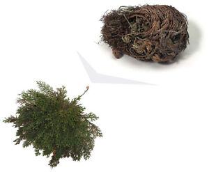 ROSE VON JERICHO, die Pflanze, die niemals stirbt 1x Wunderpflanze Geschenkidee