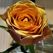 150pcs seltene goldene Rose Blume Samen Gold natürliches Wachstum Rosen Saatgut