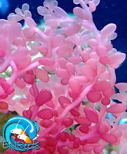 "New listing 1x 3""+ Red Grape Caulerpa Saltwater Marine Macro Algae Plant for Reef Tanks"