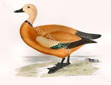 Rojiza shieldreake-game bird Art Print-libre de Reino Unido P&p