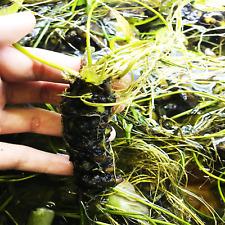 Live Aquatic Plant Nymphaea Helvola (Dwarf) Yellow Hardy Water Lilies Tuber B2G1