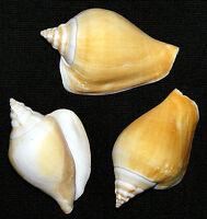 "Dog Conch Shells Natural Strombus canarium 2"" Seashell Craft/Supply~3/6/12 Pcs."