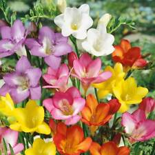 5 x Lovely Mixed Freesia Bulbs (to Plant Yourself) Free UK Postage
