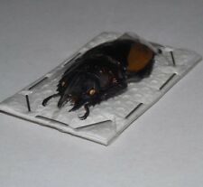 NEOLUCANUS PARRYI THAILAND REAL INSECT INDONESIA TAXIDERMY