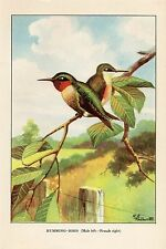 """1926 Vintage TODHUNTER BIRDS """"RUBY-THROATED HUMMINGBIRD"""" 90 YEAR OLD Lithograph"""