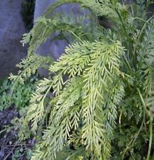 100x Asplenium prolongatum maceta jardín planta las semillas habitación novedad b732