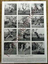 Document photo MAjorque oliviers millenaires arbres  1910 antique print
