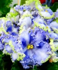 African Violet leaves Partly Cloudy Beautiful Blue & White/Green Frilled Blooms!