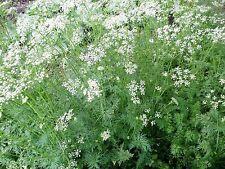 500 Organic Cumin Cuminum Cyminum Herb Flower Seeds + Free Gift & Flat Shipping
