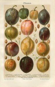 1895 PLUMS PLUM FRUIT Antique Chromolithograph Print