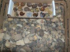 1 sliced ammonite fossil and 10 whole ammonites per lot