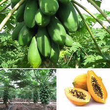 8Pcs Outdoor Home Garden Maradol Papaya Seeds Vegetable Fruit Tree Plants Seeds