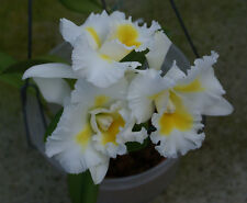 """BIN-Bc. Island Charm 'Yellow Flare"""" Must SEE! Fragrant! Easy to Grow orchid NICE"""