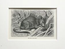 Common Degu Animal Print - 1893 Mounted Antique Black & White Engraving
