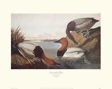Canvas-Backed Duck by John James Audubon Canvas Giclee