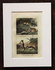 Impresión de color mano montado Buffon Antiguo c.1800 - grabado-opossum-Paca