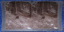 Yellowstone Wyoming Grizzly Bear in Wooded Wilderness Underwood Stereoview