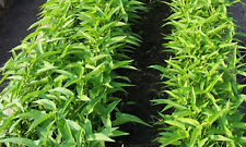 Water Spinach, Kangkong, Chinese Spinach or Chinese Watercress - BULK 100 Seeds