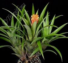 "AECHMEA ""COVATA TOO"" - Tough good performer - Yellow cone flowered species"