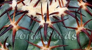 EH07 Echinocactus horizonthalonius VZD257 Cuba DUR Fantastic Spines! 25 seeds
