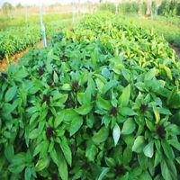 750 Seeds Thai Sweet Basil Herb Health Vegetable Garden Cooking Ocimum basilicum