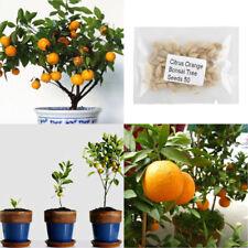 50x Yummy Citrus Orange Mandarin Potted Plants Fruit Tree Seeds Garden Yard Seed