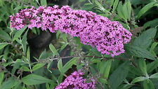 Schmetterlingsstrauch Buddleja davidii 'Pink Delight'  60 - 80 cm im Container