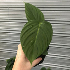 Philodendron Unknown