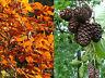 100 Erlenzapfen Alnus glutinosa + 100 Buchenlaub Fagus: Garnelen Krebse Futter