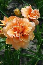 "Isabella Marafi Daylily Perennial - Hemerocallis - Rebloomer - 4"" Pot"