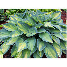 June Hosta Halcyon Hardy Heavy Established Perennial Rooted 1 Qt Potted Plant