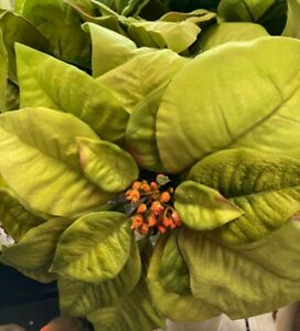 Artificial Silk Poinsettia Green Large Heads 3 For £14.99 NOW £9.99