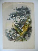 Gravur Botanik Horto Van Houtteano Rhododendrondünger Dalhousiae
