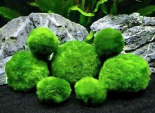 5 Marimo Moss Balls Cladophlora Live Aquarium Ponds Shrimp Safe Easy 4-6cm