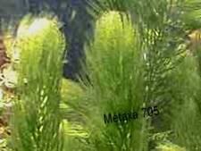 Lot de plants d'aquarium, 2 plantes Sagittaria,7 tiges Ceratophyllum dem.
