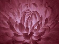 PHOTOGRAPHY MACRO PLANT NATURE FLOWER PETALS PINK LIGHT POSTER PRINT BMP10623