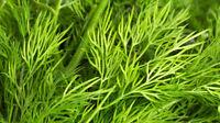 Sideritis raeseri ORGANIC SEEDS Balkan Mountain Ironwort Tea Shepherd/'s Tea Rare