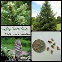 10+ BALSAM FIR TREE SEEDS (Abies balsamea) Evergreen Pine Hardy Christmas Season