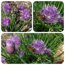 Schnittlauch Allium schoenoprasum Chives Gewürz Heilpflanze Zierpflanze